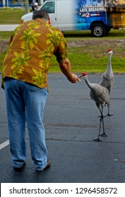 Kissimmee, Florida, USA, February 5, 2010Sandhill cranes being hand feed by hotel manager.