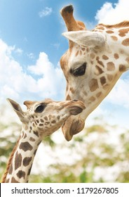kissing baby giraffe with mother (potrait)