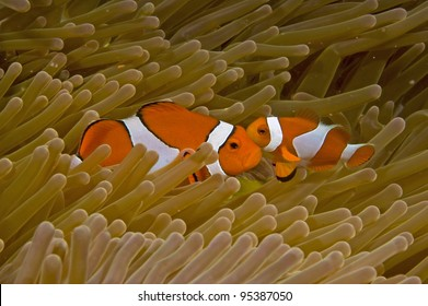 Kissing bi-cloured clownfish in anemone, Raja Ampat, Indonesia