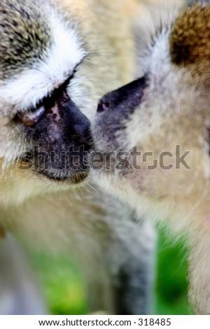 Kissing Monkeys Stock Photo Edit Now 318485 Shutterstock