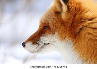 Kitakitsune,Ezo red fox