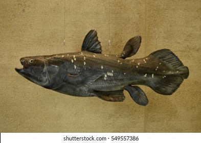 Kitakyushu, Japan - January 5 2017: coelacanth, Kitakyushu Museum of Nature