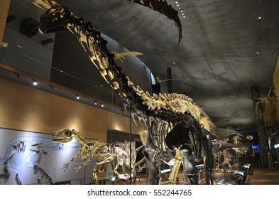Kitakyushu, Japan - January 5 2017: Seismosaurus and Camarasaurus ,Kitakyushu Museum of Nature