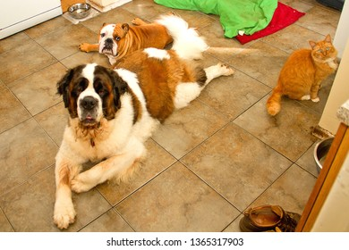 A kitchen full of pets, with Gracie a senior Saint Bernard laid on the floor by her buddy Leland, a young male British Bulldog, along with Henry, a long haired ginger cat.