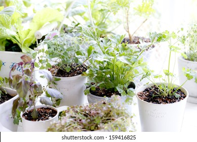 Kitchen garden of herbs windowsill