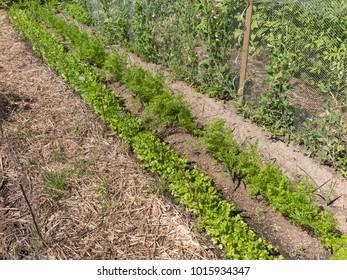Kitchen garden with leafy greens