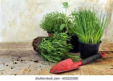 kitchen herb plants in pots such as rosemary, thyme, sage, and chives for fresh and healthy cooking and a red shovel on a rustic wooden board, vintage background with copy space, selected focus