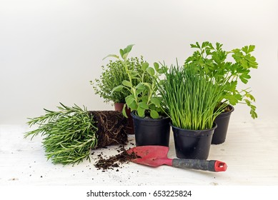 kitchen herb plants in pots such as rosemary, thyme, parsley, sage, and chives for fresh and healthy cooking and a red shovel against a bright gray background with copy space, selected focus