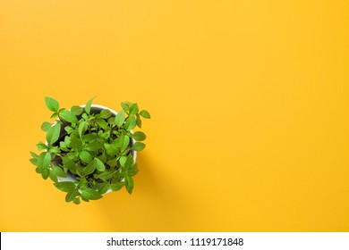 Kitchen herbs. Basil plant growing in a white pot, on yellow background with copy space.