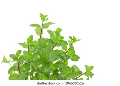 Kitchen mint, marsh mint or melissa officinalis trees isolated on white background.
