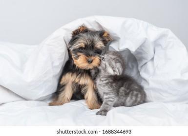 Kiten kisses Yorkshire Terrier puppy under warm blanket at home