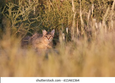 Kitten of African Wildcat, Felis silvestris lybica hidden in long grass,lit by colorful morning sun, staring directly at camera. Wildlife photography, Kalahari desert in rainy season, South Africa.