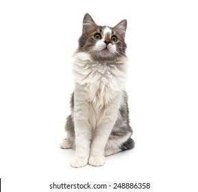 kitten (age 4.0 months) sitting isolated on white background. horizontal photo.