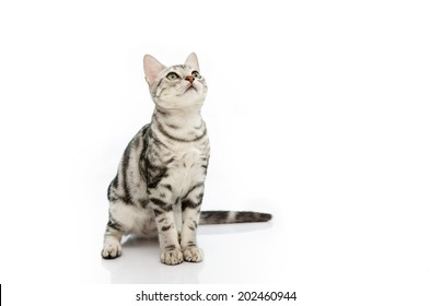 Kitten American Short hair look up on white background