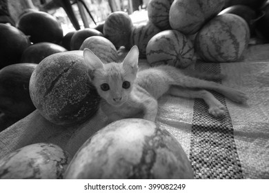 Kitten among melons in Sri Lanka