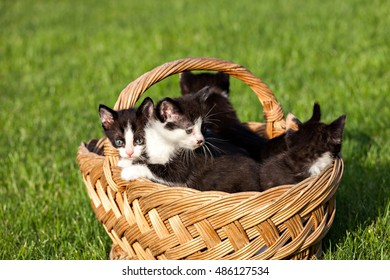 kitten in a basket on the grass