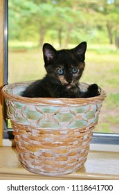 Kitten in a Basket in Window