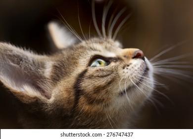 kitten with beautiful eyes , muzzle kitten closeup cat closeup on the blurry background