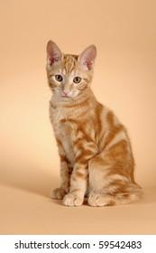 kitten (breed - kurilian bobtail)