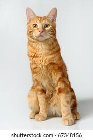 kitten (breed - kurilian bobtail)  a grey background