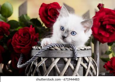 Kitten  breed ragdoll