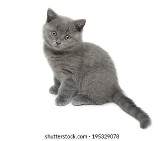 kitten ( breed Scottish Straight) isolated on white background close-up. horizontal photo.
