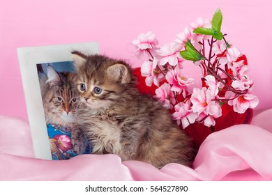 Cat and pink flower images stock photos vectors shutterstock kitten breed siberian cat sitting next to a photo of his mother surrounded by flowers mightylinksfo
