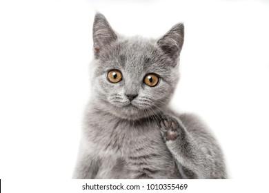 Kitten British blue on white background