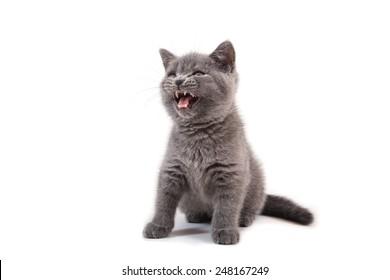 Kitten British blue on white background. Cat growls.Two months.