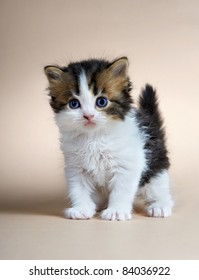 Kitten of the British breed. Age - 1 month