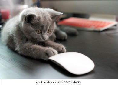 Kitten British Shorthair cat looking at a mouse at Business workplace with computer, wireless mouse on wooden dark background.