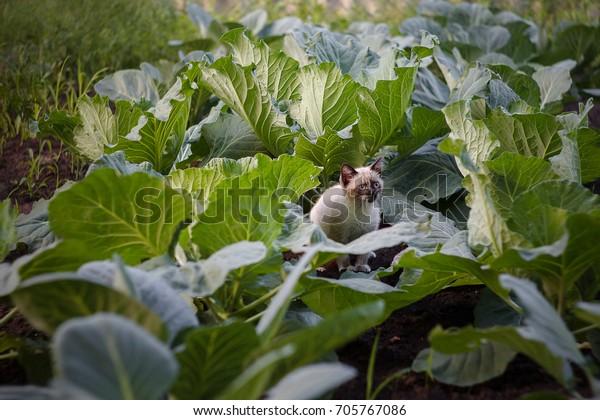 kitten in cabbage