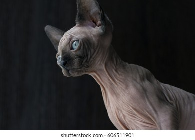 kitten of the canadian Sphynx looks down, blue eyes, bald cat, hairless skin with wrinkles