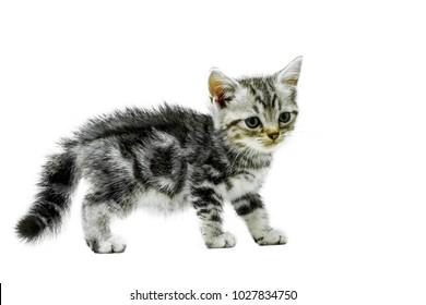 Kitten cat American shorthair isolated on white background.