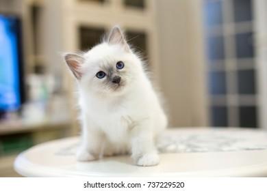 kitten cat breed sacred burma in the interior