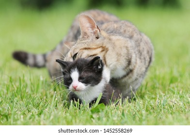 kitten and  cat mother  on meadow