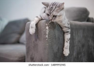 Kitten cat scratching grey fabric sofa at home.