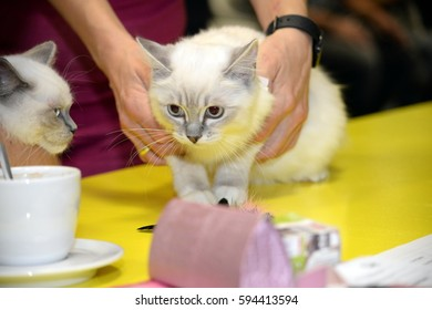 kitten at the cat show