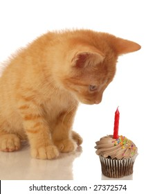 kitten celebrating birthday - kitten looking at chocolate cupcake