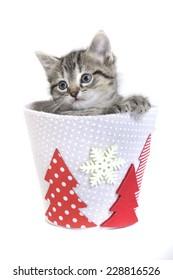 kitten in a christmas pot