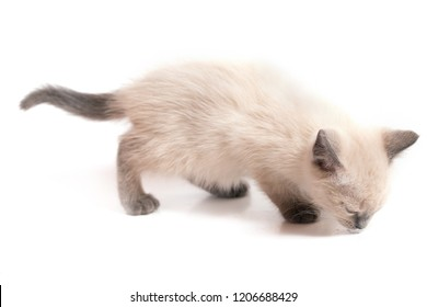 The kitten of a color a kolor-point smells something on a floor. White background, selective focus - Shutterstock ID 1206688429