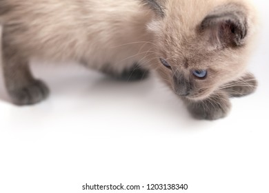The kitten of a color a kolor-point, turned the head and stares. A fragment of the head and trunk on a white background. Selective focus, free space below - Shutterstock ID 1203138340