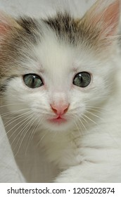 Kitten cute playful white gray naughty little with big eyes.