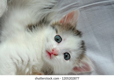 Kitten cute playful white gray naughty little with blue big eyes.