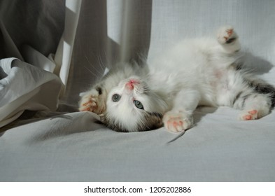 Kitten cute playful white gray naughty little with green big eyes.
