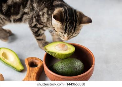 Kitten eat ripe avocado. Soft focus.