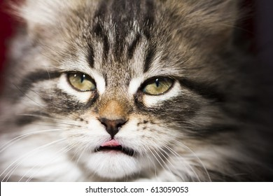 Kitten face, long haired brown tabby version of siberian breed at two months