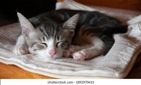 Kitten falling a sleep, in France, january 2021