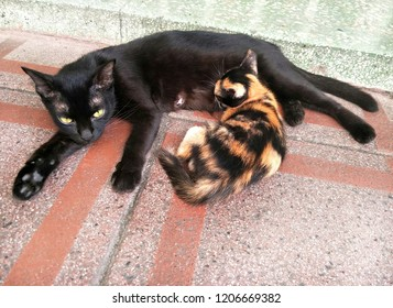 Kitten feeding mother on the ground.