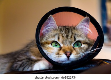 A kitten with a funnel cone post-surgery